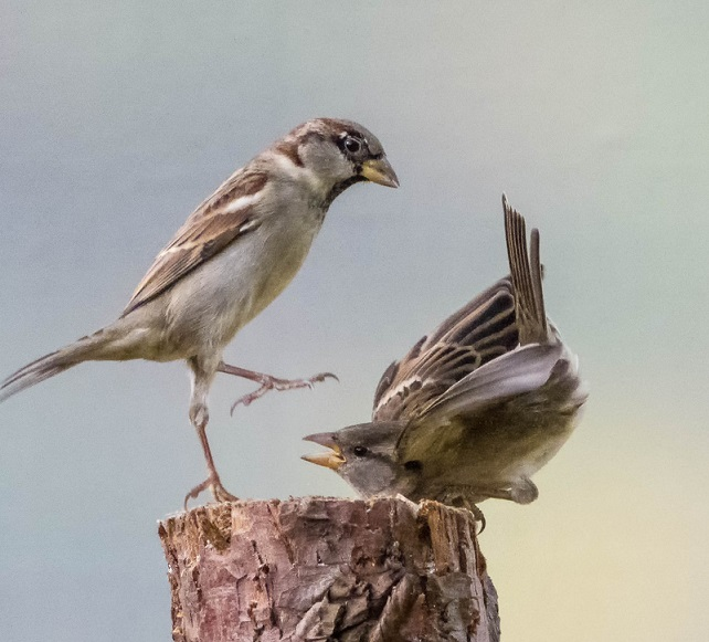 Bird fight1