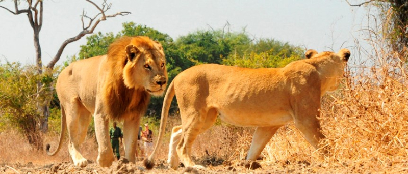 Zambia-lions-ncs
