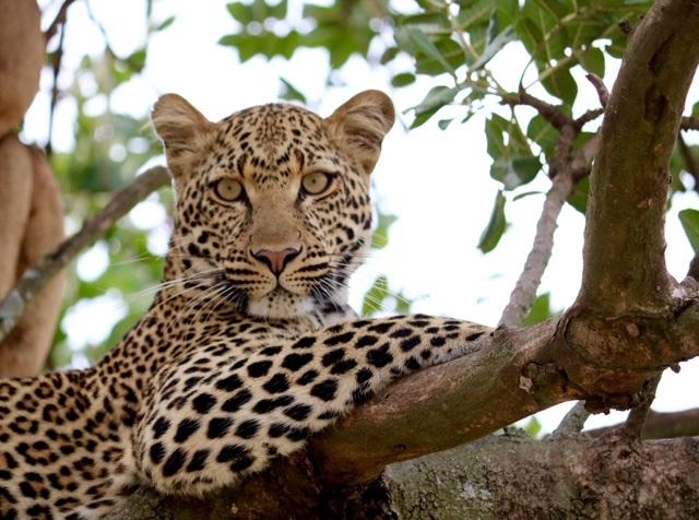 Maia leopard