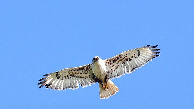 Soaring-hawk-bird